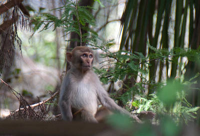 Photograph - Young Wild Rhesus Monkey by John Black