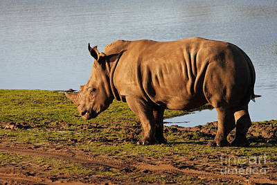 Photograph - Young Rhino On The Waterfront by Nick  Biemans