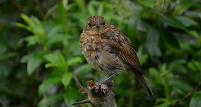 Photograph - Young Robin by Barbara Walsh
