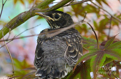 Photograph - Young Robin In Japanese Maple by Nina Silver
