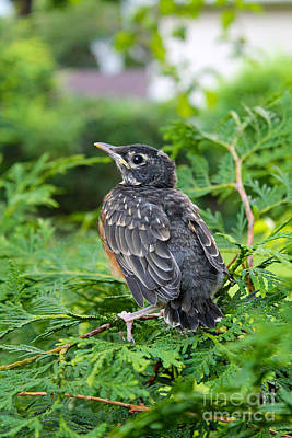 Photograph - Young Robin In The Cedars by Nina Silver