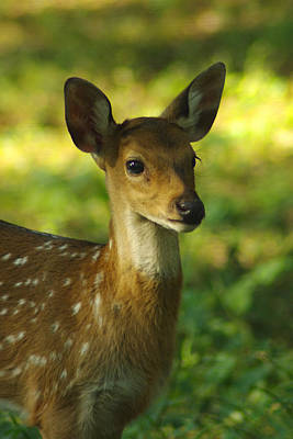 Photograph - Young Spotted Deer by Jacqi Elmslie