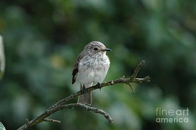 Amy Weiss - Young Spotted Flycatcher by Andrzej Tokarski