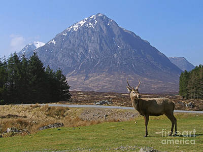 Photograph - Young Stag In Glencoe  by Phil Banks