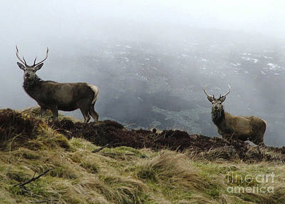 Photograph - Winter Watch - Young Stags  by Phil Banks