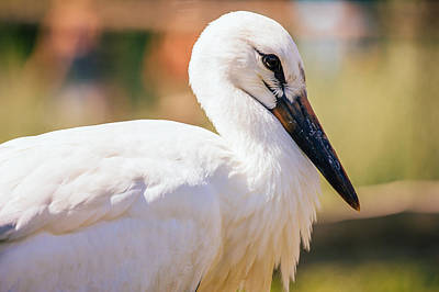 Young Stork Portrait Print by Pati Photography