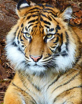 Photograph - Young Sumatran Tiger by Margaret Saheed