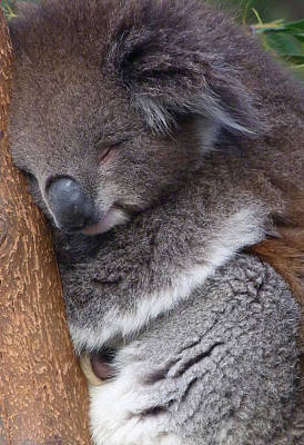 Photograph - Young Victorian Koala Snoozing by Margaret Saheed