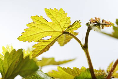 Photograph - Young Vine Leaves At Spring by Sami Sarkis