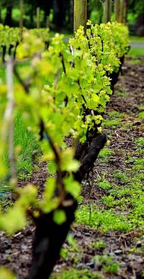Photograph - Young Vines 23720 by Jerry Sodorff