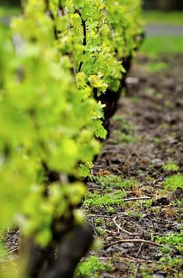 Photograph - Young Vines 23723 by Jerry Sodorff