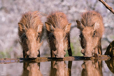 Baby Pigs Wall Art - Photograph - Young Warthogs Drinking by Dr P. Marazzi/science Photo Library