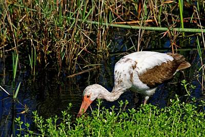 Photograph - Young White Ibis by Ira Runyan