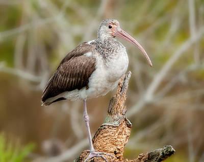 Photograph - Young White Ibis by Lara Ellis