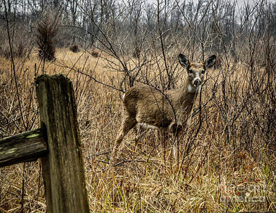 Photograph - Young White Tail Deer by Ronald Grogan
