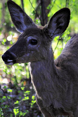 Photograph - Young White Tailed Deer 2 by Jim Vance