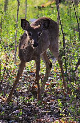 Photograph - Young White Tailed Deer by Jim Vance