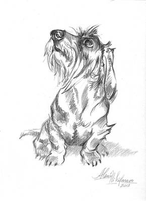 Drawing - Young Wire-haired Dachshund Looking Up by Alena Nikifarava