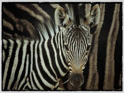 Photograph - Young Zebra by Dave Hall