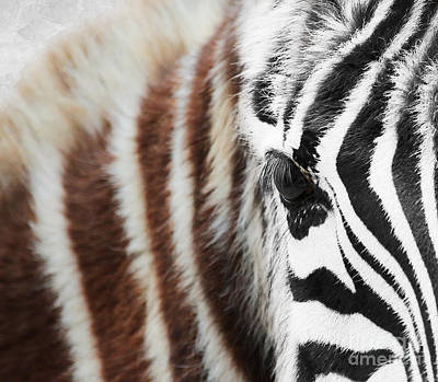 Photograph - Young Zebra by Lisa Cockrell