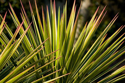 Yucca 1 Print by Frank Tozier