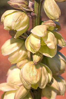 Photograph - Yucca Blooms by Sandra Selle Rodriguez