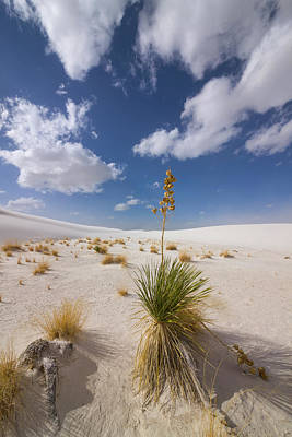 Photograph - Yucca Growing On Dune In White Sands N by