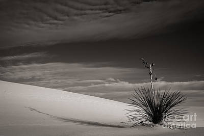 Photograph - Yucca In The Sandsiii by Sherry Davis