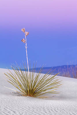 Art Print featuring the photograph Yucca Pink And Blue by Kristal Kraft