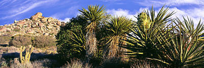 Yucca Plants Blooming In A Desert, Culp Art Print by Panoramic Images