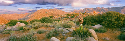 Yucca Spanish Bayonet Plants Blooming Art Print by Panoramic Images