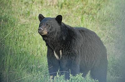 Photograph - Yukon Black Bear by Dyle   Warren