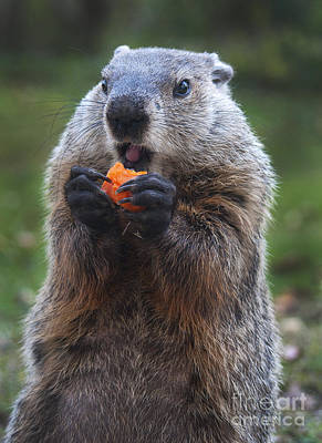 Groundhog Wall Art - Photograph - Yum-yum by Paul W Faust -  Impressions of Light