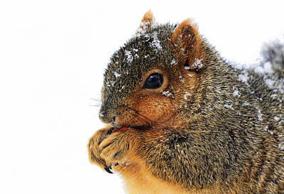 Fox Squirrel Photograph - Yummy by Marcia Colelli