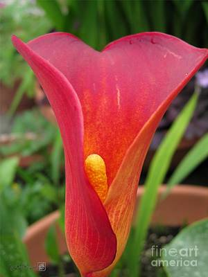 Photograph - Zantedeschia Named Red Sox by J McCombie