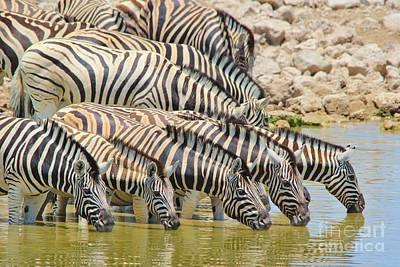 Photograph - Zebra - Lined Up Drink by Hermanus A Alberts
