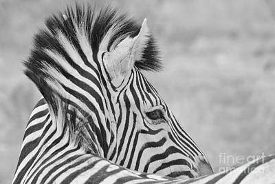 Photograph - Zebra - Portrait Of Stripes by Hermanus A Alberts