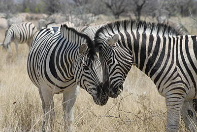 Photograph - Zebra Affection by Jim Phares