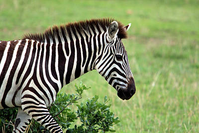 Photograph - Zebra by Aidan Moran