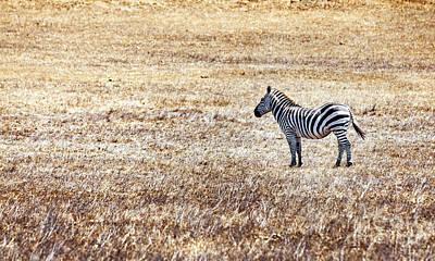 Color Photograph - Zebra-alone In A Field by David Millenheft