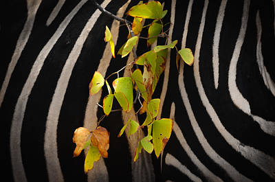 Southafrica Photograph - Zebra And Mopane Leafs by Andy-Kim Moeller