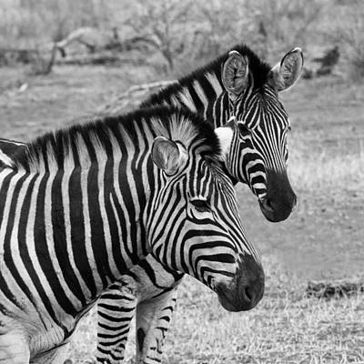 Photograph - Zebra Brothers by Phil Stone