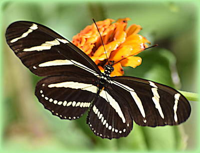 Photograph - Zebra Butterfly Beauty 1 by Sheri McLeroy