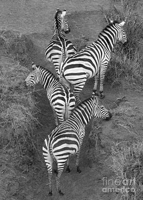 Zebra Photograph - Zebra Design by Carol Walker