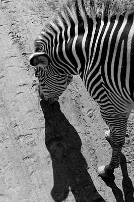 Wildlife Wall Art - Photograph - Zebra by Devin Wensevic