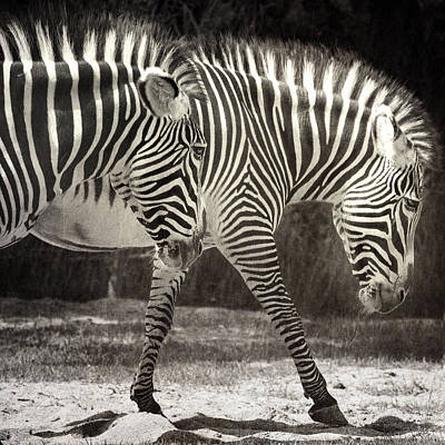 Zebra Art Print by Diane Dugas