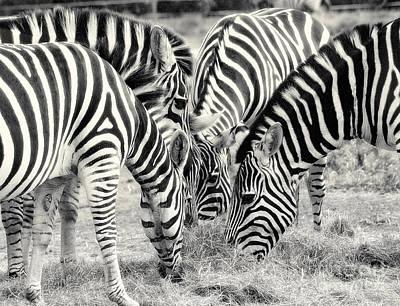 Zebra Dinner Time   Art Print by Raymond Earley
