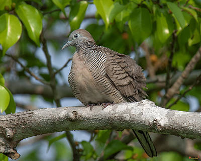 Photograph - Zebra Dove Or Barred Ground Dove Dthn0054 by Gerry Gantt