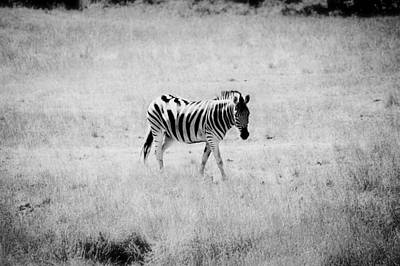 Zebra Explorer Art Print by Melanie Lankford Photography