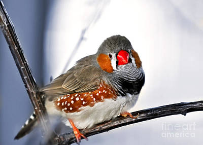 Red Finch Photograph - Zebra Finch by Elena Elisseeva